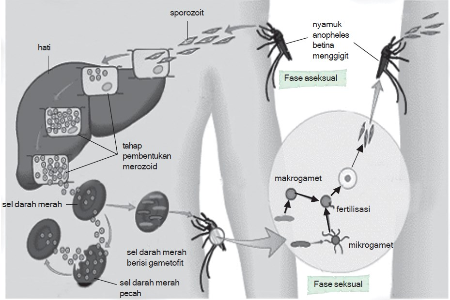 daur hidup plasmodium malaria 5624lkjh