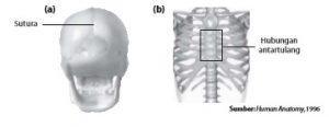 (a) Sinartosis sinfibrosis pada tengkorak dan (b) sinartrosis sinkondrosis pada hubungan tulang rusuk dan tulang dada