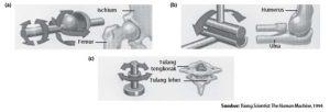 Jenis persendian diartosis pada manusia, yaitu (a) sendi peluru, (b) sendi engsel, dan (c) sendi putar.