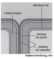 Struktur dinding sel