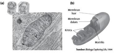 Mitokondria dilihat melalui mikroskop elektron dan (b) struktur mitokondria