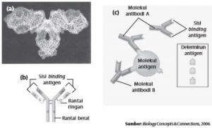 (a) Molekul antibodi yang digambarkan oleh grafik komputer, (b) struktur antibodi, dan (c) binding antibodi pada antigen determinan