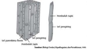 Struktur floem