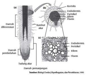 Struktur akar (a) Potongan membujur akar, (b) Potongan melintang akar dan (c) Jaringan pengangkut