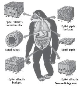Jaringan epitel pada beberapa organ tubuh hewan