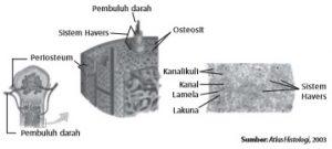 Struktur tulang keras