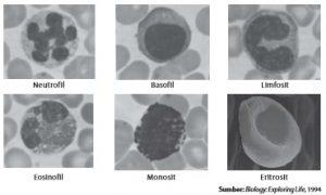 Beberapa sel darah penyusun jaringan darah