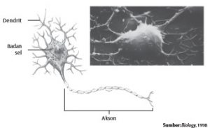 Struktur sel saraf (neuron)