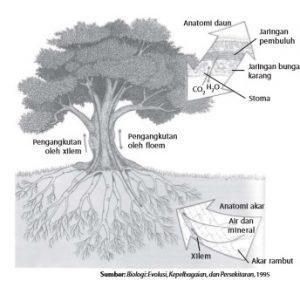 Jalur pengangkutan air, mineral dan hasil fotosintesis pada tumbuhan