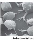 Trombosit berperan dalam penggumpalan darah.