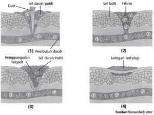Mekanisme penggumpalan darah pada luka