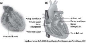 Struktur utuh jantung manusia dan (b) ruang-ruang pada jantung