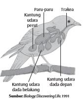 Pernapasan pada burung dibentuk oleh kantung-kantung udara.