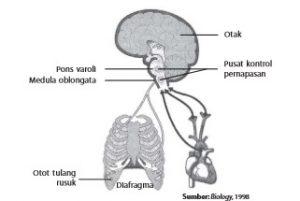 Otak berperan mengatur pernapasan.