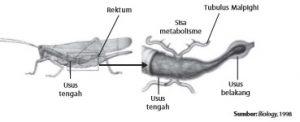 Sistem ekskresi pada cacing tanah