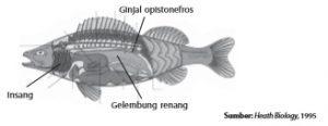 Organ ekskresi pada ikan adalah ginjal opistonefros.