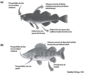 Sistem ekskresi pada (a) ikan air laut, dan (b) ikan air tawar