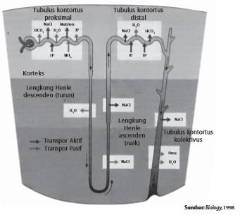 Sistem Ekskresi Manusia Dan Hewan Ginjal Urine Proses Metabolisme
