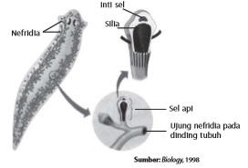 Nefridia merupakan organ ekskresi pada planaria