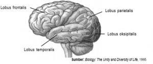 Di cerebrum terdapat empat bagian yang memiliki fungsi berbeda-beda.
