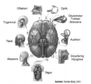 Dua belas saraf kranial