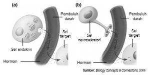 Sel endokrin dan (b) sel neurosekretori