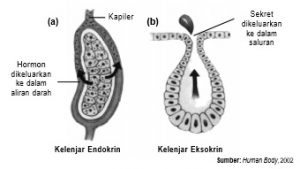 Perbedaan antara (a) kelenjar endokrin dan (b) kelenjar eksokrin, terletak pada jalur sekret yang dikeluarkan.
