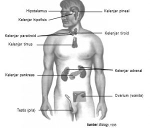 Kelenjar endokrin pada tubuh manusia