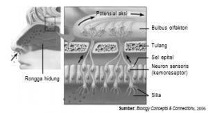 Mekanisme penciuman oleh hidung