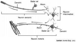 Berdasarkan struktur dan fungsinya, neuron dibagi menjadi neuron sensoris, neuron intermediet, dan neuron motoris