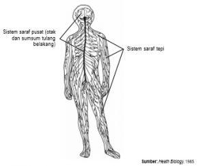 Sistem saraf dikelompokkan menjadi dua, yaitu sistem saraf pusat dan sistem saraf tepi.