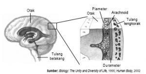 Struktur meninges pada otak
