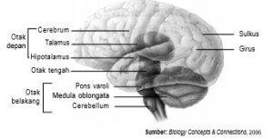 Otak-manusia terbagi menjadi tiga bagian, yaitu otak depan, otak tengah, dan otak belakang.