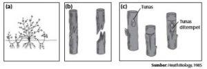 Vegetatif buatan dengan cara (a)merunduk, (b) menyambung, dan (c) menempel (okulasi).
