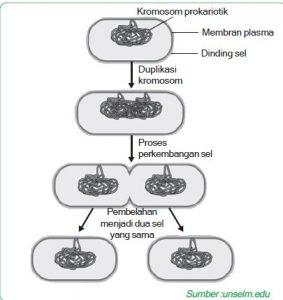 pembelahan biner streptococcus faecalis 5644jhhaj
