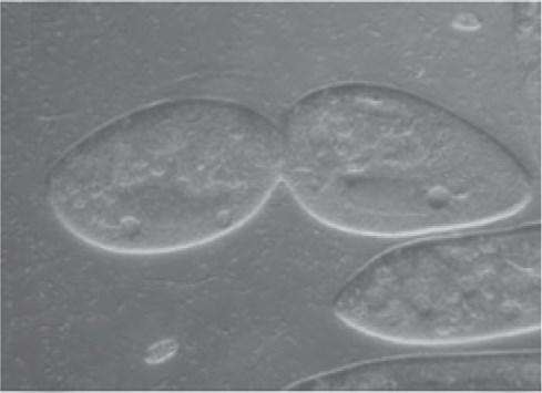 reproduksi paramaecium aseksual membelah diri 9654lkjhj