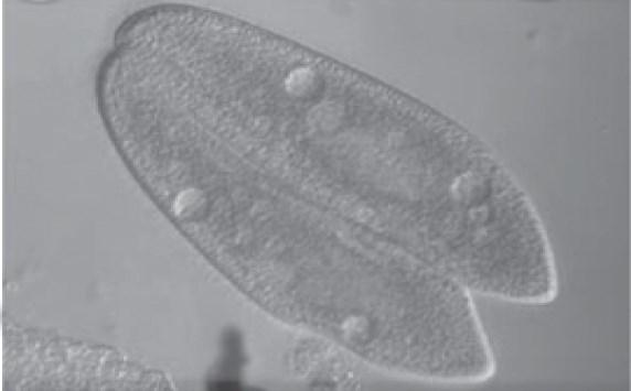 reproduksi paramaecium seksual konjugasi 6953kjhg