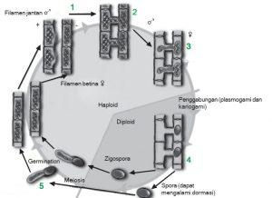 reproduksi spirogyra polkj4587