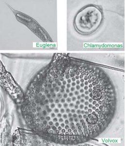volvox chlamydomonas euglena 5665lkj
