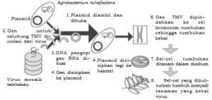 Proses rekayasa tanaman tembakau tahan TMV