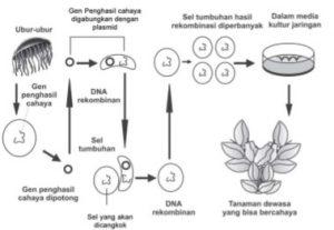 Proses rekayasa genetika tanaman bercahaya