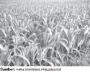 Hasil tanaman jagung akan melimpah jika ditanam di tanah yang subur.