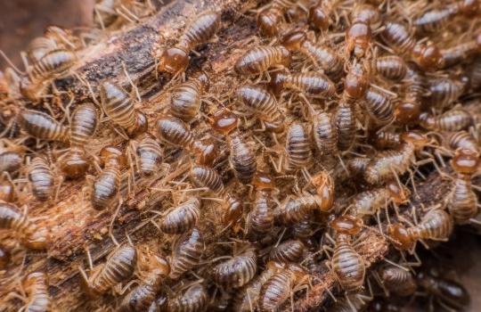 6 Cara Praktis Membasmi Rayap dan Koloninya Hingga Tuntas
