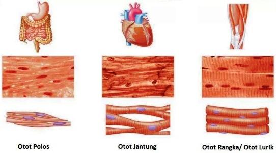 Jenis Otot